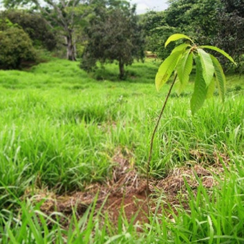 Tropical Trees as Climate Change Solutions