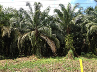 Tropical trees solution for climate change