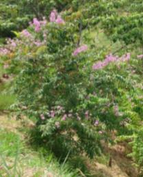 Lagerstroemia Speciosa (L. Flos-reginae)